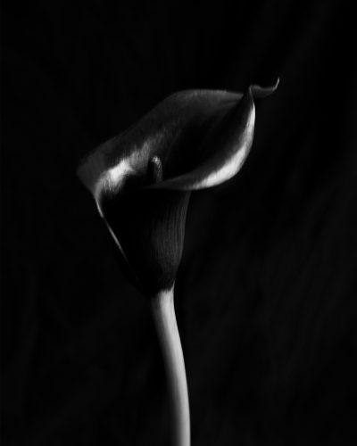 Black Arum